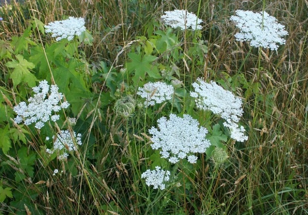 "My favorite ""weeds"" Queen Anne's Lace."